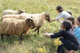 Feeding sheep