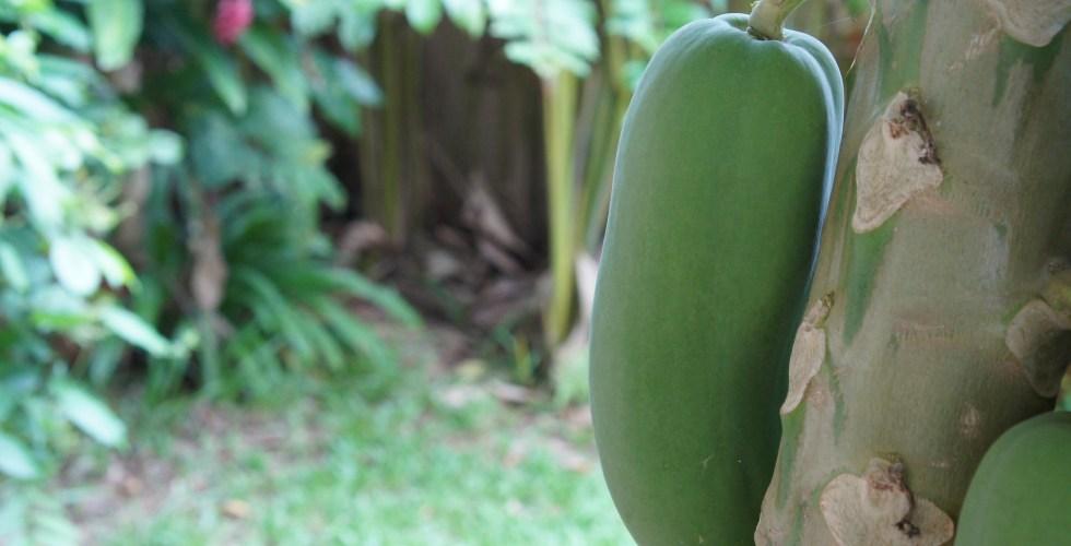 Papaya, betik, on the tree