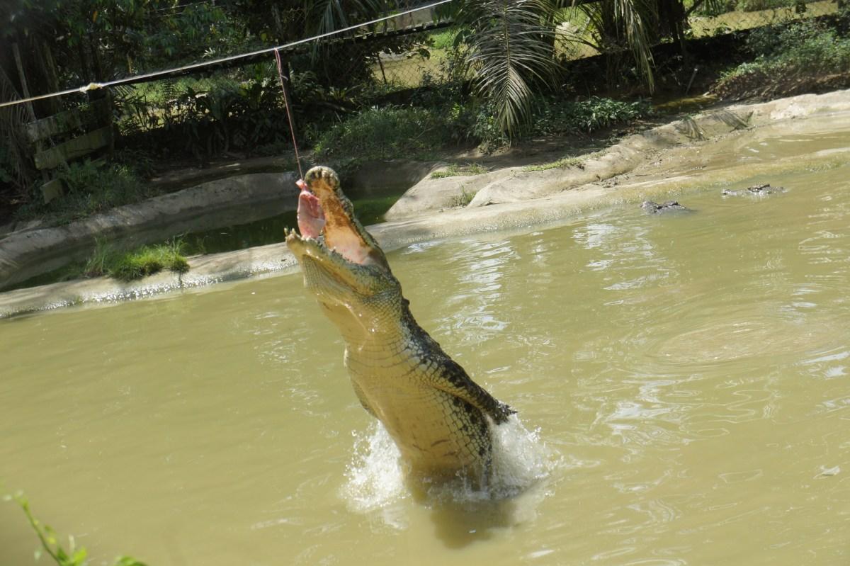 Crocodocious