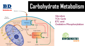 Basic Overview of Carbohydrate Metabolism