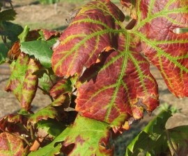 Leafroll virus symptoms