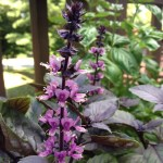 Flowering purple basil on my patio. I also grew Italian basil and Thai basil. Photo by Anastasia Bodnar.