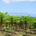 papaya-farm150