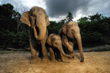 Asian elephants. Grandmother knows best