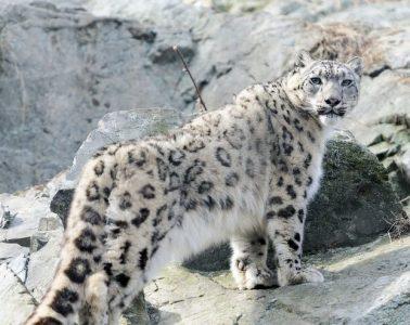 snow leopards, snow leopard
