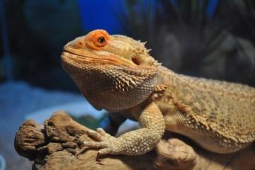 bearded dragon personality