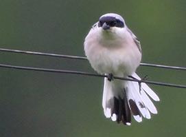 Lesser Grey Shrike photo