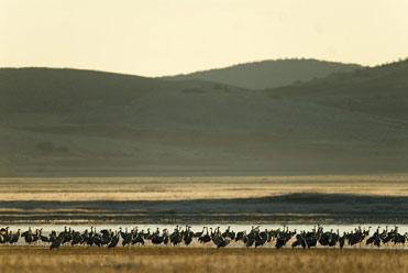 Cranes at Gallocanta