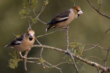 Hawfinches by Franck Renard