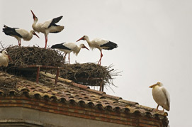 White Pelican on church roof with Storks