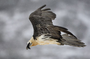 Adult Lammergeier in flight