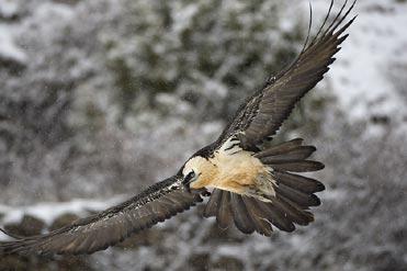 Lammergeier in snowstorm.