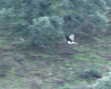 Black Stork, Ciconia nigra, Cigüeña negra