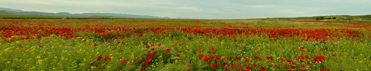 Poppy fields in Spain