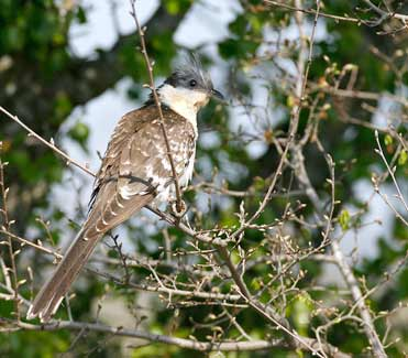 Great Spotted Cuckoo, Lleida, Spain