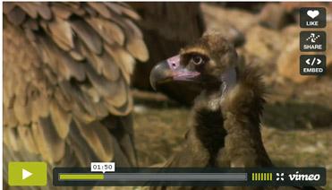 Black Vulture at the Lammergeier hide