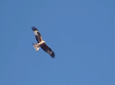 Red Kite, Milvus milvus.