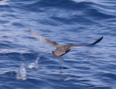 Sooty Shearwater Puffinus griseus