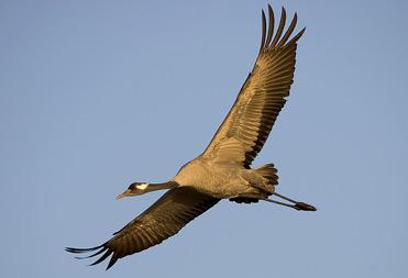 Common Crane, Grus grus.