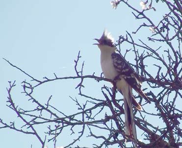 Great Spotted Cuckoo Clamator glandarius