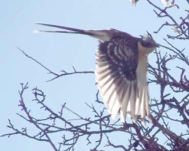 Great Spotted Cuckoo Clamator glandarius