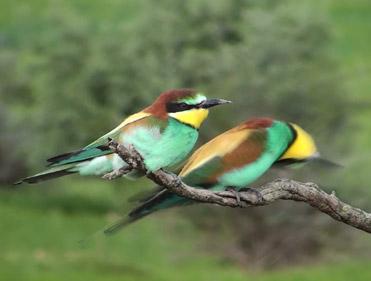 Bee-eaters, Merops apiaster.