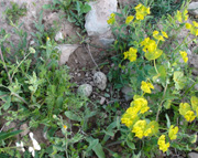 Stone Curlew, Burrhinus oedicnemus, nest and eggs