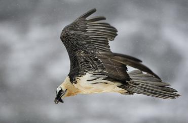 Lammergeier - Gypaetus barbatus - Bearded Vulture