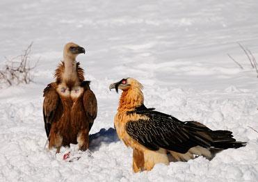 Lammergeier photography with Birding In Spain