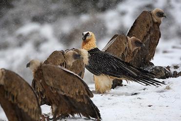 Lammergeier photo trip with Birding In Spain
