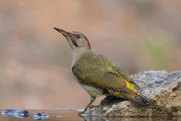 Green Woodpecker, Picus viridis, at the pool hide, Montsonís, Lleida.