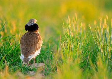 Male Little Bustard, Tetrax Tetrax, on the plains of Lleida, Catalonia.