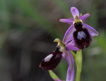 Ophrys bertolonii subsp. catalaunica