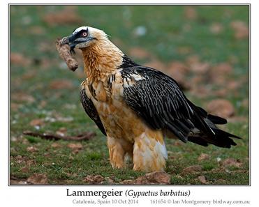 Lammergeier, Bearded Vulture, Gypaetus barbatus.