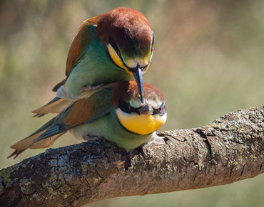 Bee-eater's lucky day, on a birding tour in Spain