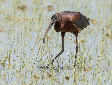 Glossy Ibis, on a birding tour in Spain
