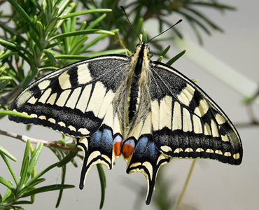 Swallowtail Butterfly, on a birding tour in Spain.