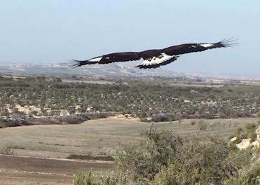 Golden Eagle, Aquila chrysaetos