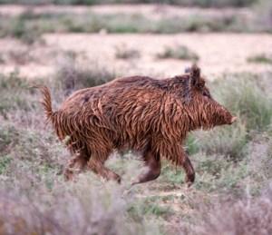 Wild boar, run, Spain