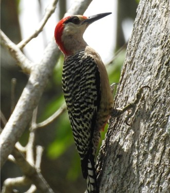 West Indian Woodpecker at the Botanical Gardens. (Photo by Erika Gates)