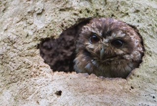 A Bare-legged Owl peeks out of his roosting cavity. (Photo by David Southall)