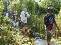 Wading through Zapata Swamp—on a quest for the Zapata Wren! (Photo by Erika Gates)