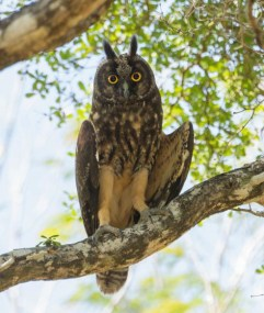 A very lucky view of a Stygian Owl on the way to Las Salinas. (Photo by David Southall)