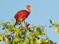 A Scarlet Ibis perched on a mangrove. (Photo by Faraaz Abdool)