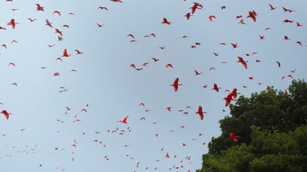 Scarlet Ibis in the Caroni Swamp, Trinidad. (Photo by Jessica Rozek)