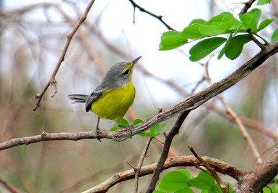 The endemic Barbuda Warbler was spotted after Hurricane Irma. (Photo by Andrea Otto)
