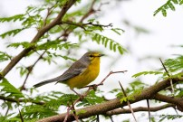 Barbuda Warbler (Photo by Anthony Levesque)