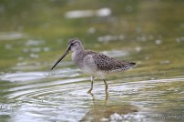 Long-billed Dowitcher, a rare migratory shorebird in this region (Photo by Anthony Levesque)