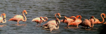 American Flamingos at Tuna de Zazas (photo by Ernesto Reyes)
