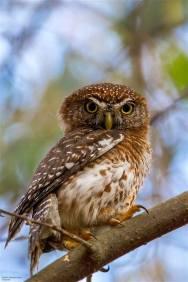 Cuban Pygmy Owl, endemic to Cuba. (photo by Aslam I Castellan Maure)